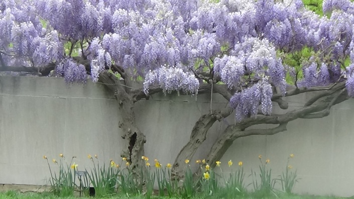 Wisteria at the Smithsonian